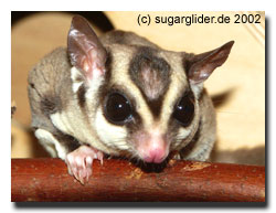 Sugar Glider Impuls